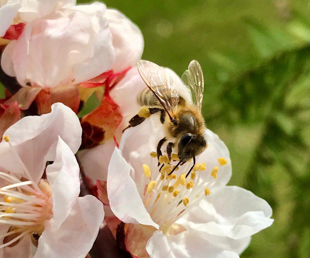 """""""Frühe Aprikosenblüte mit Biene."""""""
